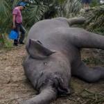 Gajah-Mati-diracun-Riau-600